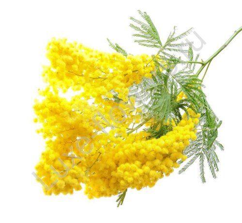 Купить цветок мимоза с доставкой по Москве.